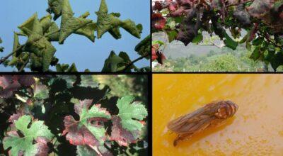 FLAVESCENZA DORATA – Comunicazioni e documentazione per i comuni viticoli della provincia di Cuneo.